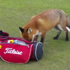 Out-Foxed at Los Lagos Golf Course